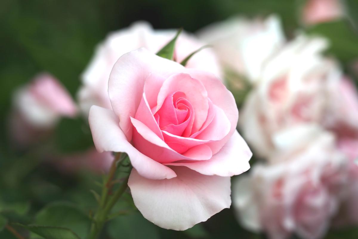 花 ピンク の 言葉 薔薇