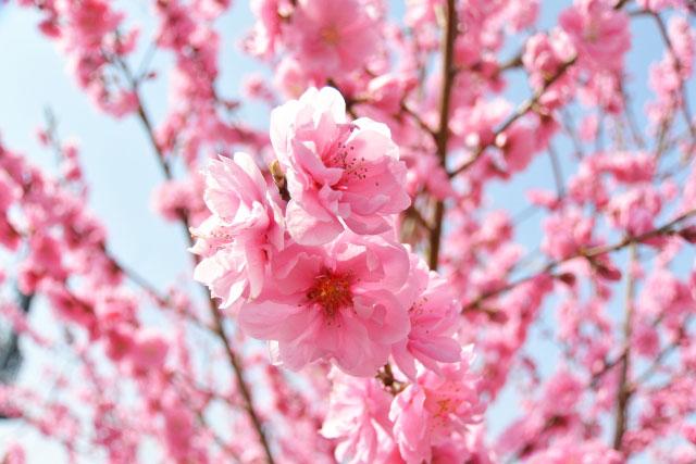 ひなまつりに飾る「桃の花」