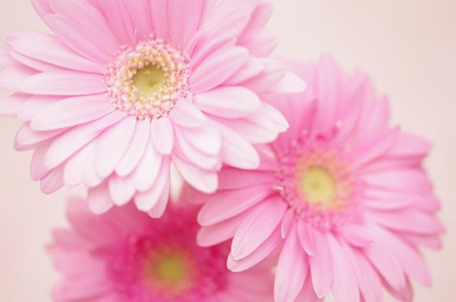 3月の誕生花・可憐な「ピンクガーベラ」