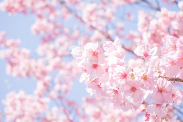 日本の春を代表する「桜の花」