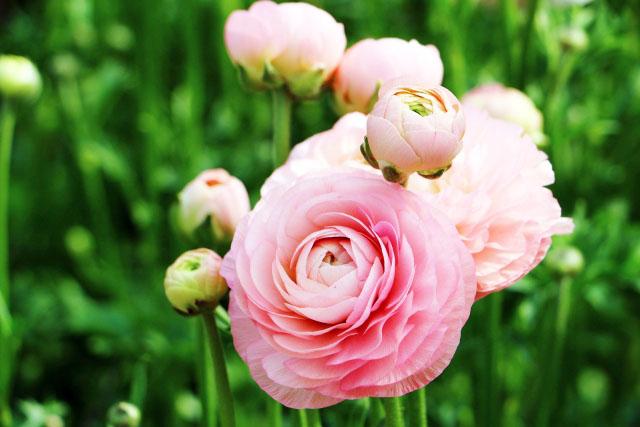 美しい花姿に魅了される「ラナンキュラス」