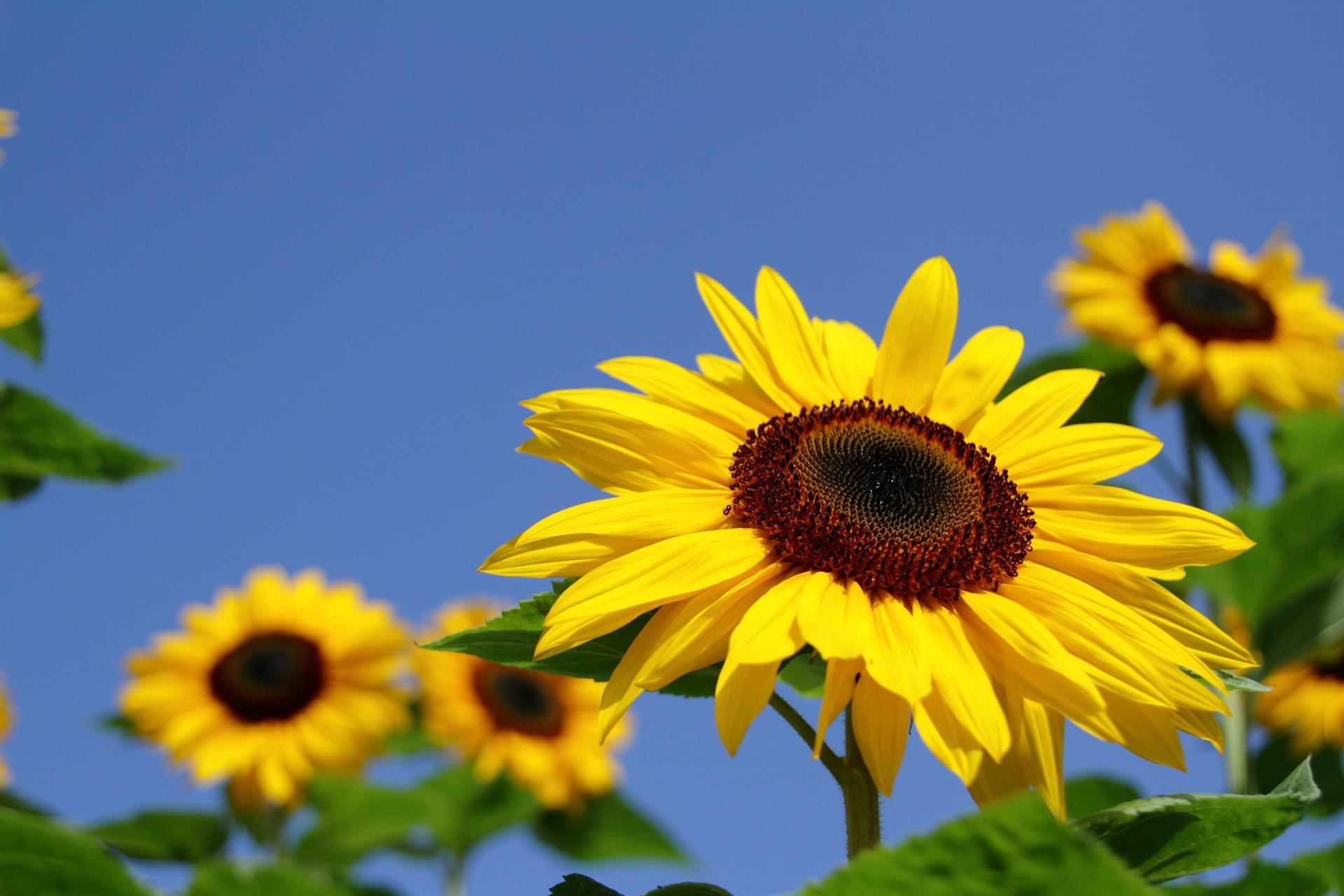 7月の誕生花のご紹介 ~太陽のように明るい花ひまわり~