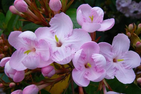 敬老の日におすすめ!~可憐で甘い香りのにおい桜~