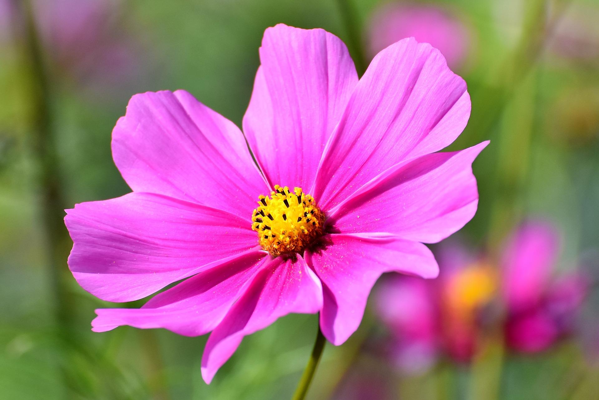 秋の野原を鮮やかに彩る花コスモスのご紹介