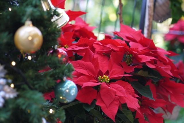 赤と緑が美しいクリスマスの定番 ~ポインセチアのご紹介~