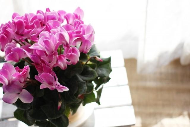 色鮮やかな花を冬に咲かせるシクラメンのご紹介