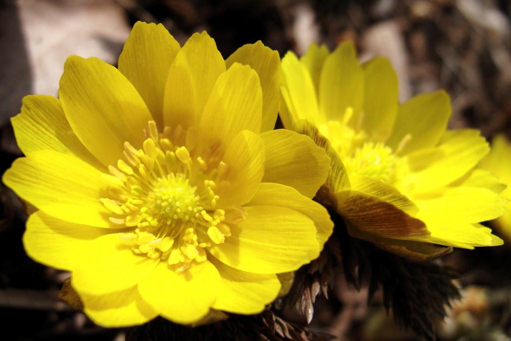 幸せを招く黄色い花 ~福寿草のご紹介~