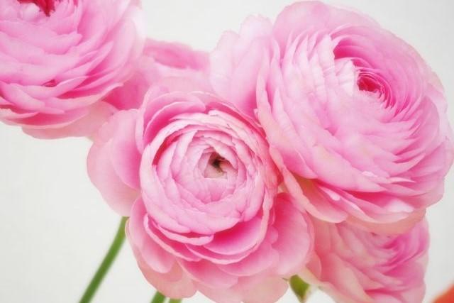 魅力的な花姿の春の花 ~ラナンキュラスのご紹介~