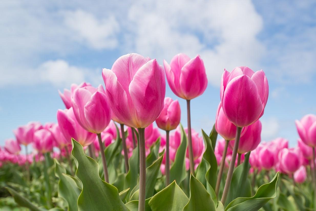 2月の誕生花のご紹介 ~春を代表する花チューリップ~