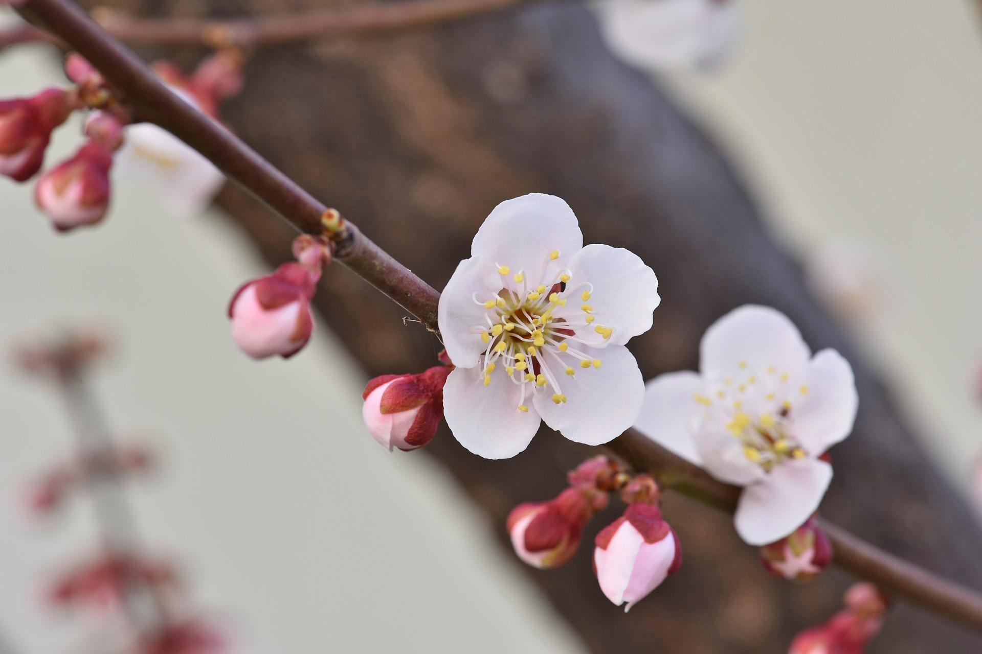 寒さが続く季節を彩るお花◆梅のご紹介