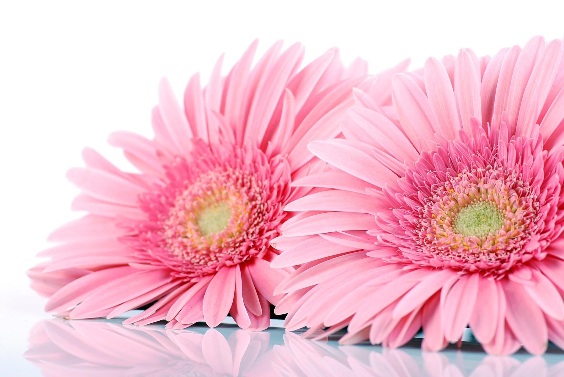 3月の誕生花のご紹介~可愛らしい見た目のピンクガーベラ~