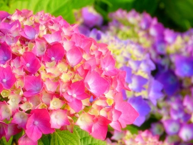 令和最初の母の日に贈りたい花~あじさいのご紹介~