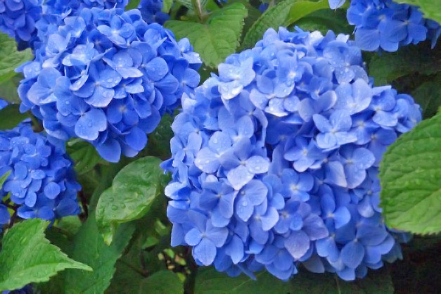 季節のお花をご紹介~梅雨を彩るお花~