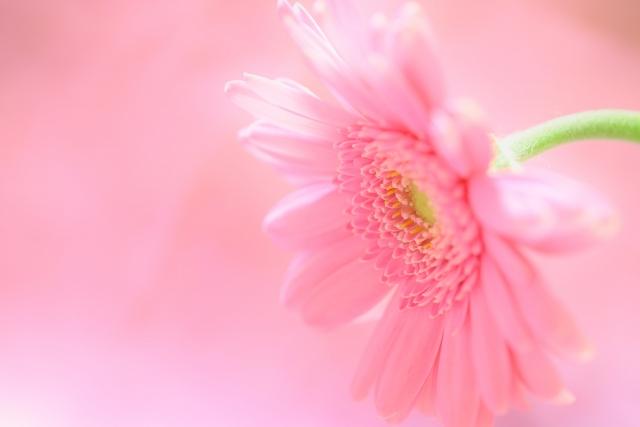 3月の誕生花~人気のピンクガーベラ~