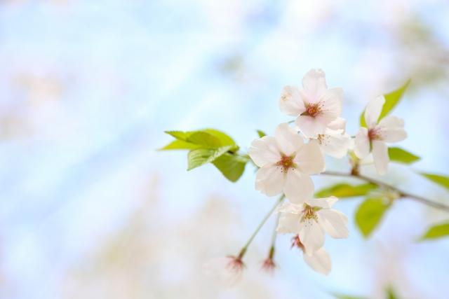 3月27日はさくらの日!?~桜のお手入れ・押し花の方法~