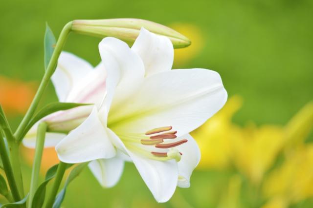 6月の誕生花~世代や国境を越えて愛されるユリ~