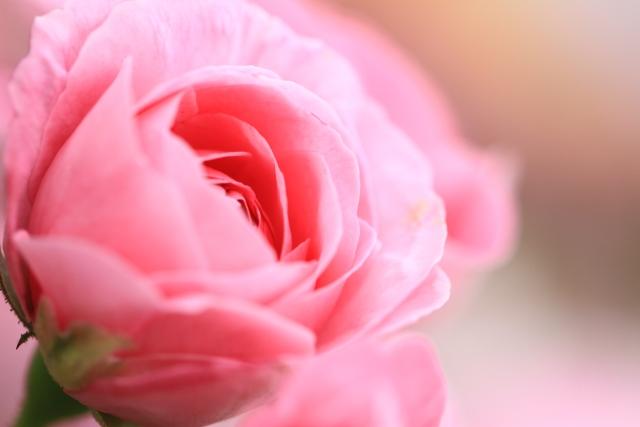 6月2日はローズの日~植物の記念日~