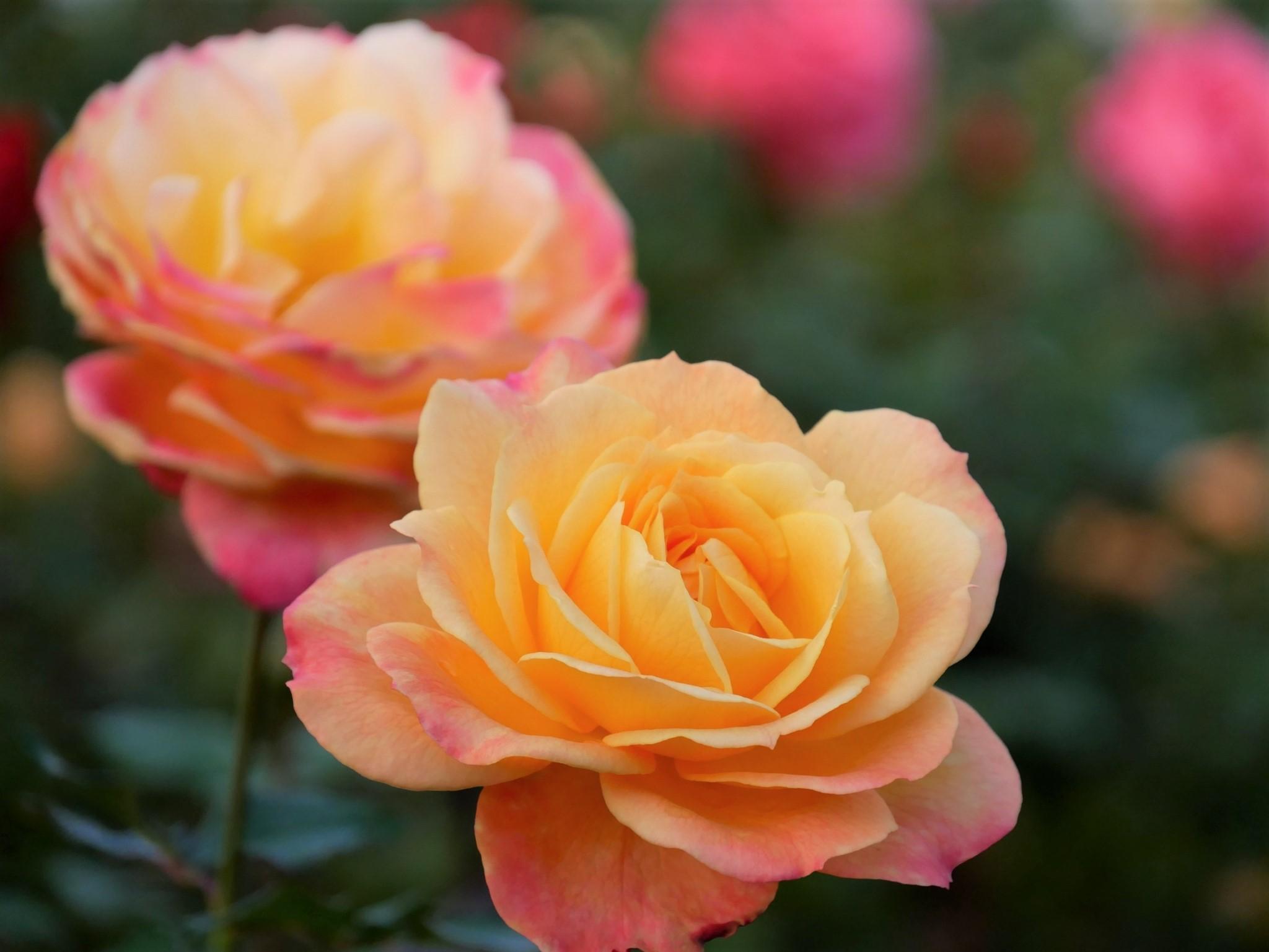 美しい秋バラの品種一覧~花言葉も掲載~