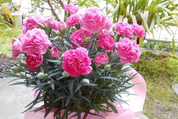 カーネーションの育て方~母の日に鉢植えをもらったら~