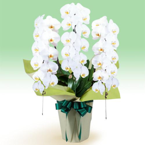 胡蝶蘭特急便 |花や花束の宅配...