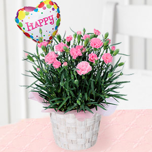 母の日フラワー・カーネーション鉢(ピンク)