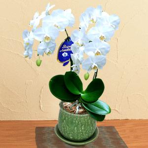 ミディ胡蝶蘭 アマビリス2本立