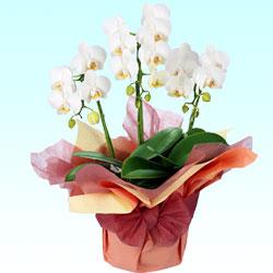 9位★ミディ系胡蝶蘭の鉢物