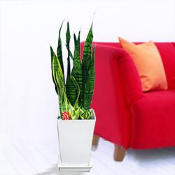 サンセベリア3種寄せ鉢(白鉢)