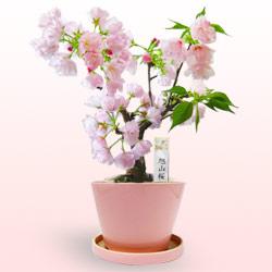 桜盆栽(八重桜)