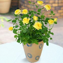 幸せの黄色いローズ(陶器鉢)