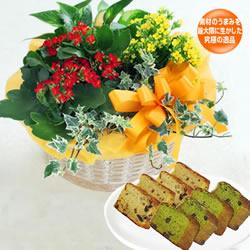 カランコエの寄せ鉢と【ガトーマスダ】抹茶とフルーツパウンドセット