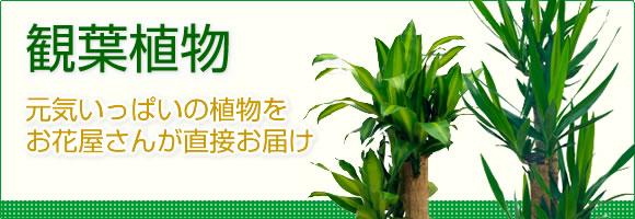 観葉植物|元気いっぱいの植物をお花屋さんが直接お届け