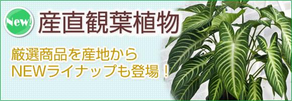 産直観葉植物|上質な観葉植物