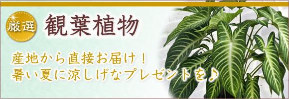 産地直送 観葉植物