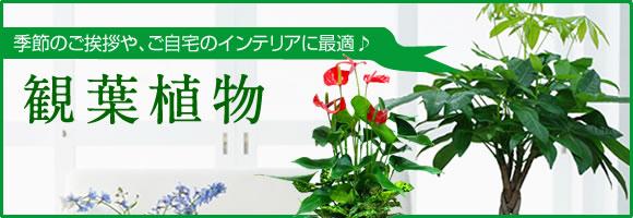 観葉植物 季節のご挨拶や、ご自宅のインテリアに最適♪
