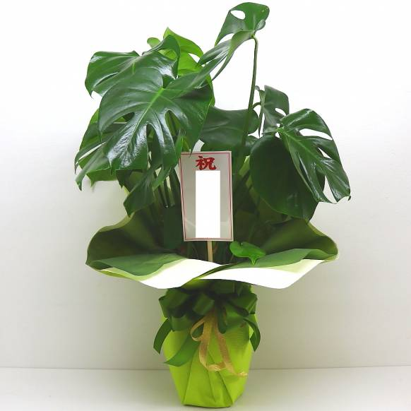 《Plants》Monstera/Original wrappingサマーギフト特集(宅配)